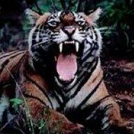Der_Tiger